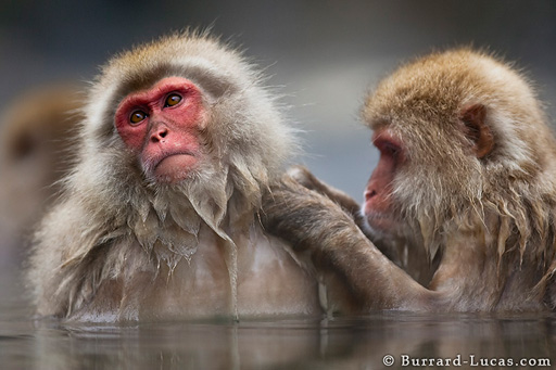 Grooming Macaques