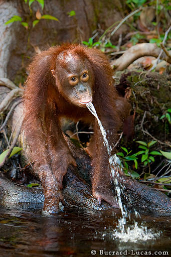 Orangutan Fountain